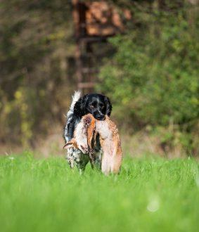 Jagdhund apportiert Fuchs
