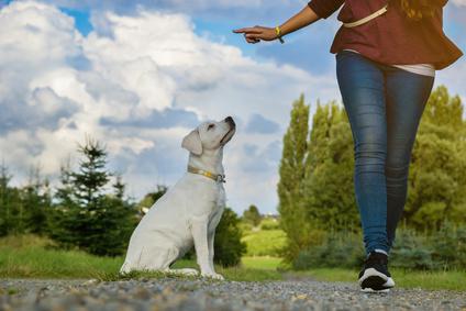 Junge Frau gibt einem Labrador Hund Welpen ein Kommando